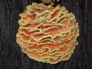 courtesy htt://americanmushrooms.com