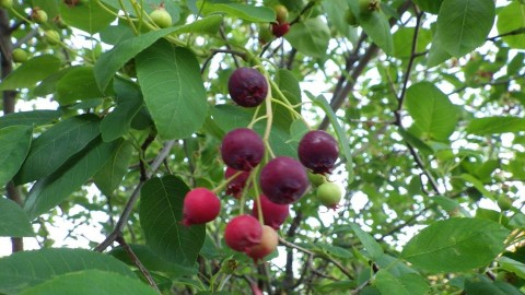 Juneberry Ripening